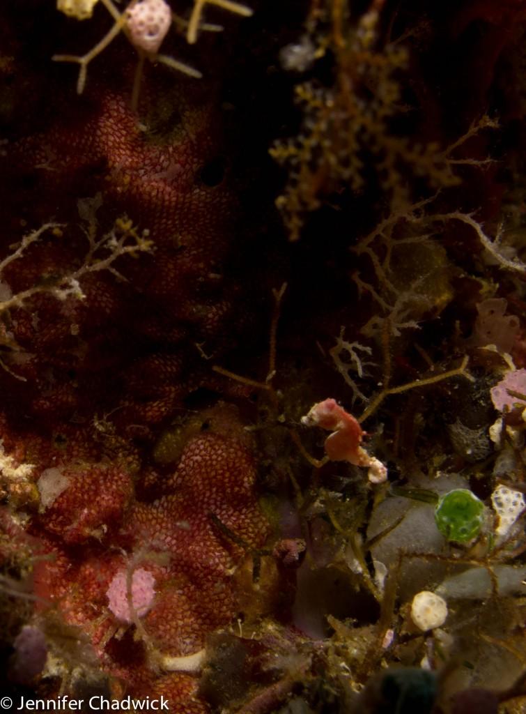 Pontohi pygmy seahorse