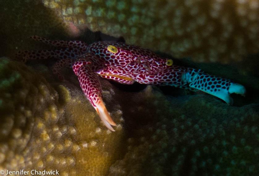 Trapezoa rufopunctata - Rust-spotted guard crab